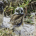 Chick Burrowing Owl  by Marie Elise Mathieu