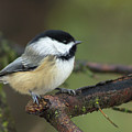 Chickadee 1 by Cecille Gagne