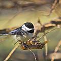 Chickadee-11 by Robert Pearson