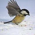 Chickadee-2 by Robert Pearson