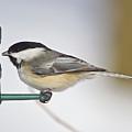 Chickadee-4 by Robert Pearson