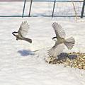 Chickadee-6 by Robert Pearson