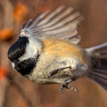 Chickadee Blurrrr by James Anderson