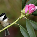 Chickadee By Rhododendron Bud by Alan Lenk