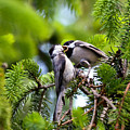 Chickadee Feeding Time by Kerri Farley