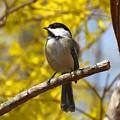 Chickadee In Spring by Dianne Cowen