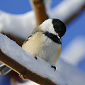 Chickadee... by Nina Stavlund