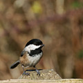 Chickadee On Wooden Fence by Marv Vandehey