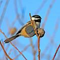 Chickadee by Robert Pearson