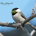 Chickadee Salad by Mike Fitzgerald