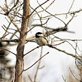 Chickadee by William Tasker