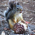 Chickaree Stripping A Pine Cone - John Muir Trail by Bruce Lemons