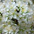 Chickasaw Plum Blooms by Barbara Bowen