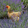 Chicken In The Lavender by Suzanne Stout