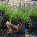 Chicken With Lavender  by Shelby Bryson