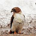Chickenhawk by Debbie Oppermann