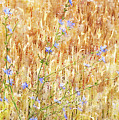 Chickory N Wheat W C by Peter J Sucy