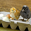 Chicks And Eggs by Maria Dryfhout