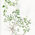 Chickweed Herb by Doris Blessington