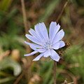 Chicory Blue by Stacey Scott