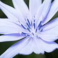 Chicory by David Taylor