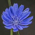 Chicory Flower by Sue Matsunaga