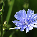 Chicory by Lana Raffensperger