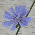 Chicory by Michael Peychich