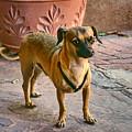 Chihuahua - Dogs by Nikolyn McDonald
