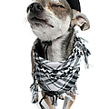 Chihuahua Wearing A Scarf And A Cowboy Hat by Life On White
