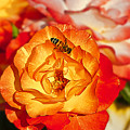 Chihuly Rose With Bee by Emerald Studio Photography