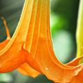 Children's Garden Angel's Trumpet by Kyle Hanson