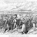 Chile: Wine Harvest, 1889 by Granger