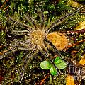 Chilean Tarantula by Dant� Fenolio
