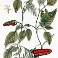 Chili Pepper, 1735 by Granger