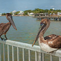 Chilling Pelicans by John M Bailey