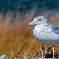 Chilling Seagull by Laura Duhaime