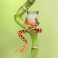Chilling Tiger Leg Monkey Tree Frog by Linda D Lester
