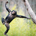 Chimp In Flight by Abeselom Zerit