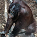 Chimpanzee by Doc Braham