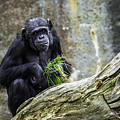 Chimpanzee Foraging by Levana Sietses