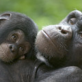 Chimpanzee Mother And Infant by Cyril Ruoso