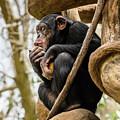 Chimpanzee, Nc Zoo by Cynthia Wolfe