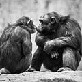 Chimpanzee Pair by Abeselom Zerit