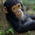 Chimpanzee Pan Troglodytes Baby Leaning by Ingo Arndt