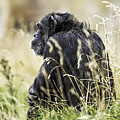 Chimpanzee Sitting In The Grass by Levana Sietses