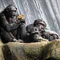 Chimpanzee Snacking On A Sunflower by Helaine Cummins
