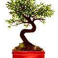 Chinese Elm Bonsai Tree by Michael Vigliotti