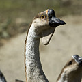 Chinese Geese Anser Cygnoides At Zoo by Joel Sartore