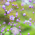 Chinese Meadow Rue Flowers Opening by Tim Gainey